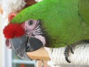 Isabella - Military Macaw