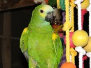 Mimzy - Blue Fronted Amazon