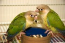 Two Sweet Cinnamon Green Cheeked Conures
